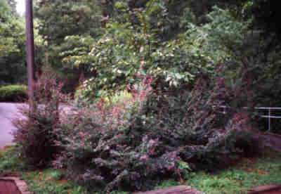 Loropetalum Purple Dwarf Haynes Landscape And Maintenance